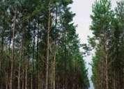 Vendo 60 hectáreas de pino elliotis en pcia. de corrientes