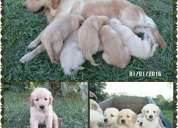 Cachorros golden hermosos!!!!
