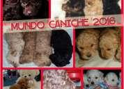 Mundo caniche cachorros todo el año 46426528
