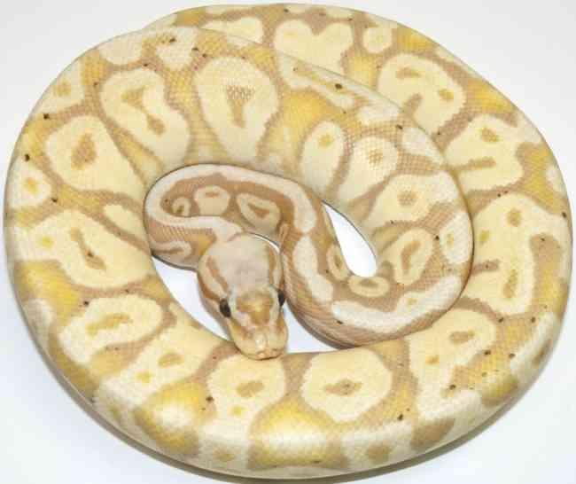 Hembra Coral Glow Posible Het Pied Ball Python (Tipo: Ball Python) En Venta