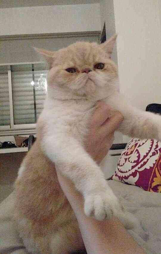 Se perdio gato exotico persa