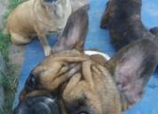 Bulldog frances en capitan bermudez  !!!!!!