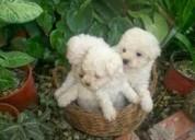 Vendo perritos toys puros economicos