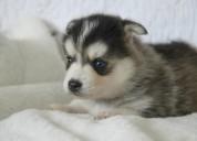 Hermosos cachorros pomsky de 12 semanas