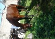 Vendo caballo amansado