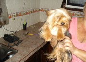 Vendo hermoso cachorrito yorkshire trrrier mini