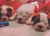 Akc registrado cachorros de bulldog inglés