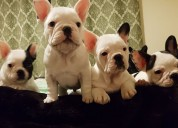 Bulldog francés available