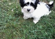 Lovely cavachon puppies para la adopciÓn gratis