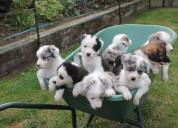 Lupely border collie puppies para la adopciÓn grat