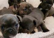 Adorable bulldog bulldog francÉs para la adopciÓn