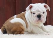 Registrado hermosos cachorros de bulldog inglés