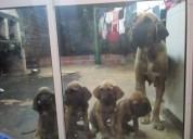 Vendo cachorros fila brasilero