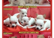 Mascotas carolina whatsapp 1131670144
