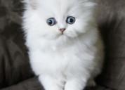 Regalo adorable gatitos persa ,