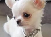 Cachorros chihuahua miniaratura,