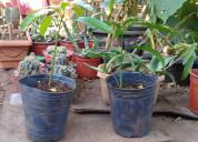 Venta de plantines de mango