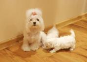 Impresionantes cachorros maltés