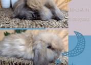 Conejos para mascotas holland lop y fuzzy lops